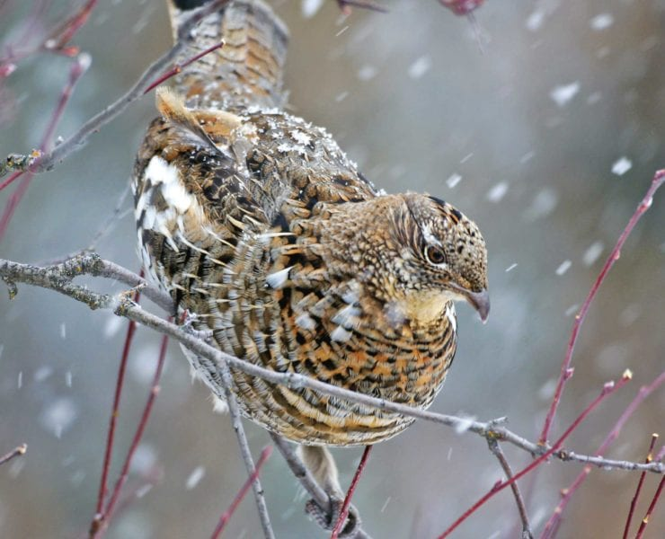 A ruffed grouse sits on a tree limb in a snow storm
