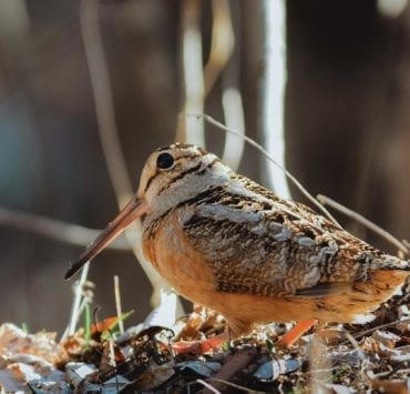 An American Woodcock looks for worms on a young forest floor.