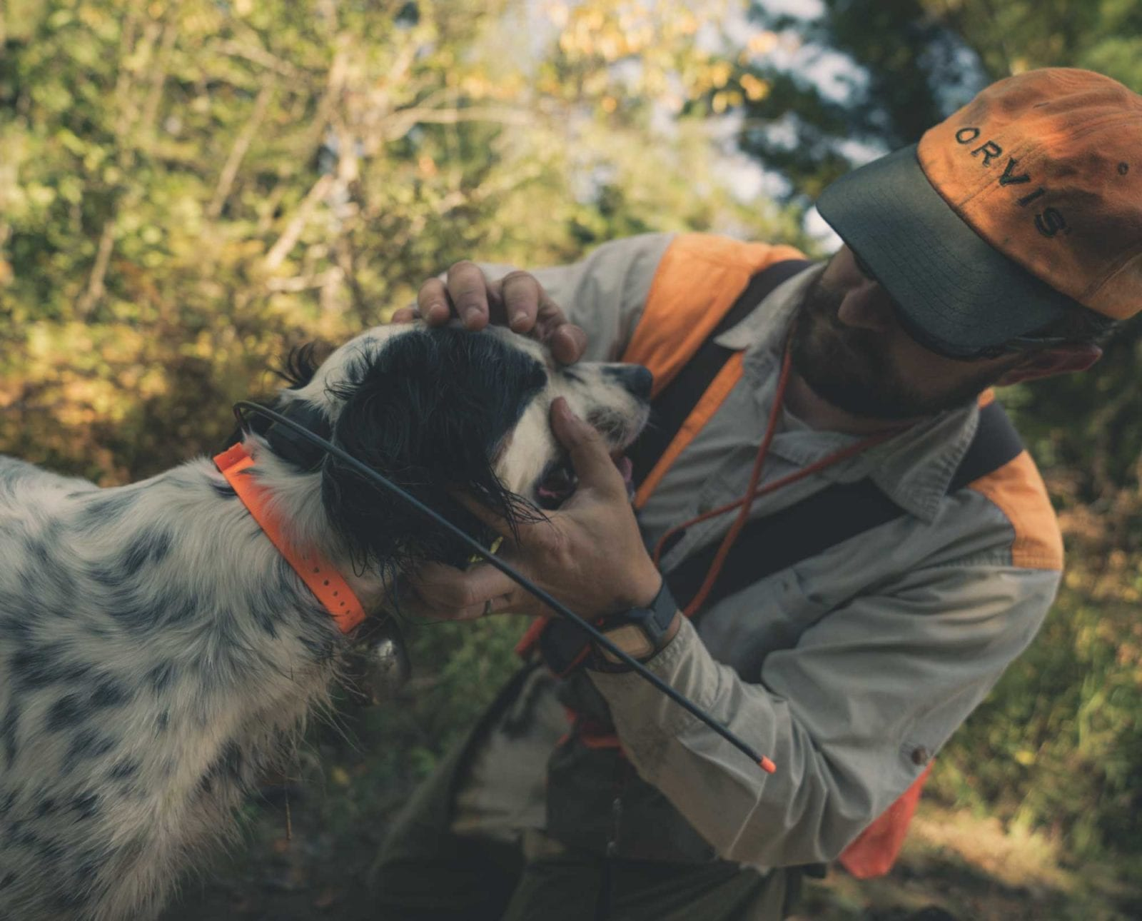 a bird hunter inspects his English setter for injuries after a hunt.