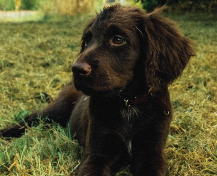 A bird dog puppy laying in the grass.
