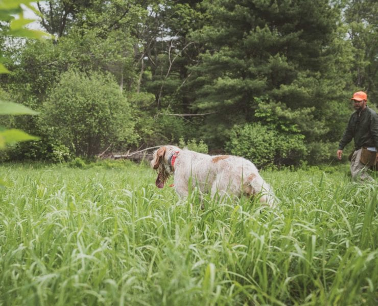 A spinone bird dog experiencing training pressure.