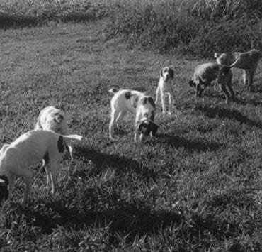 A line of bird dogs being trained at PSR kennels