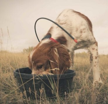 An American Brittany eating dog food after a hunt for birds in the west.