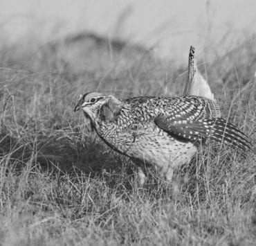 Sharp-tailed grouse dancing on a lek