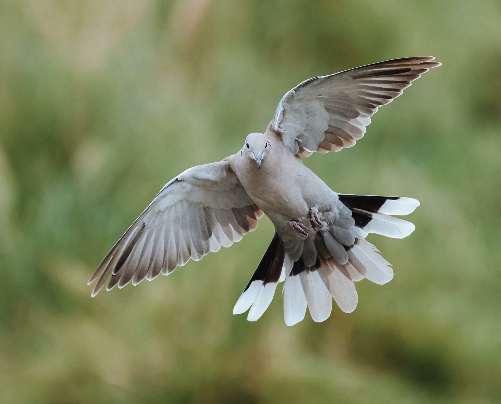 A dove flushes after being pushed by a hunter