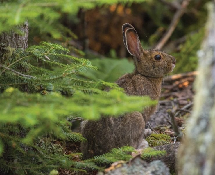 A snowshoe hare in thick cover.