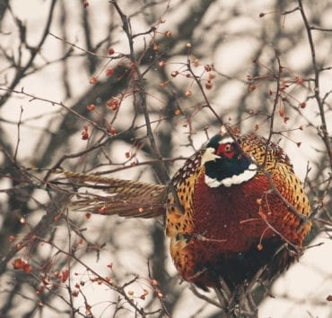 A rooster pheasant sits in a tree in the winter.