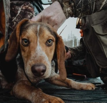 A Beagle gets a GPS tracking collar for rabbit hunting