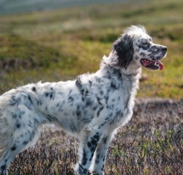 An English setter being trained on Moors in England