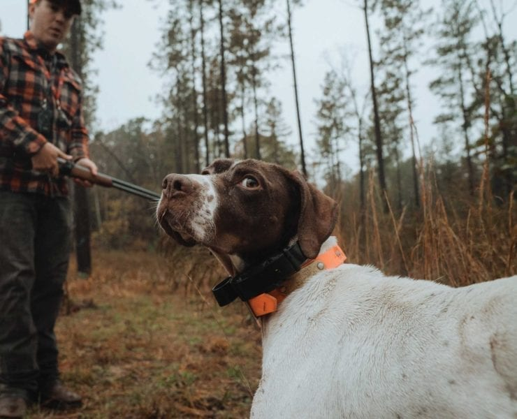 A dog trainer reads a bird dogs body language while training.