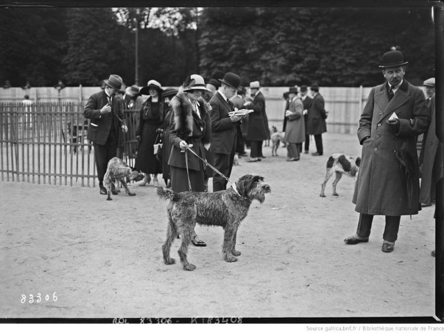 Wirehaired pointing griffon in a dog show in France, 1923.