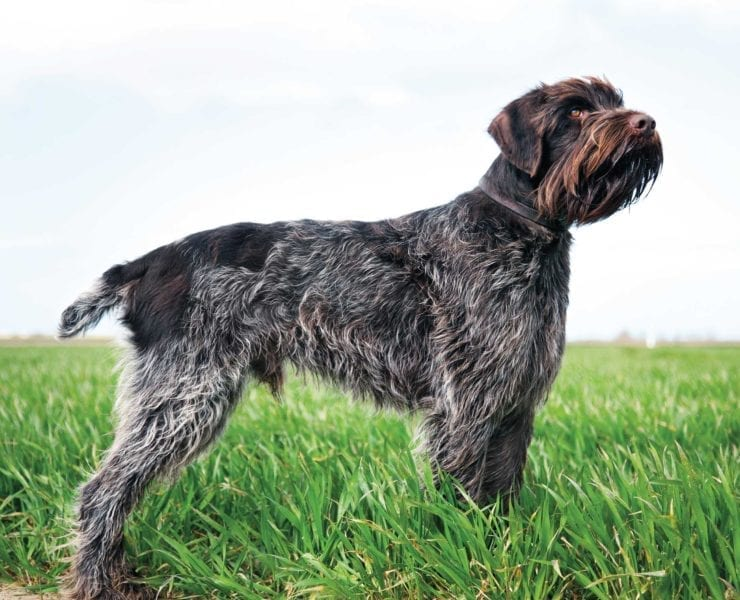 A Wirehaired Pointing Griffon standing in a field in North America.