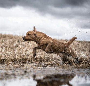 A British lab jumping into water