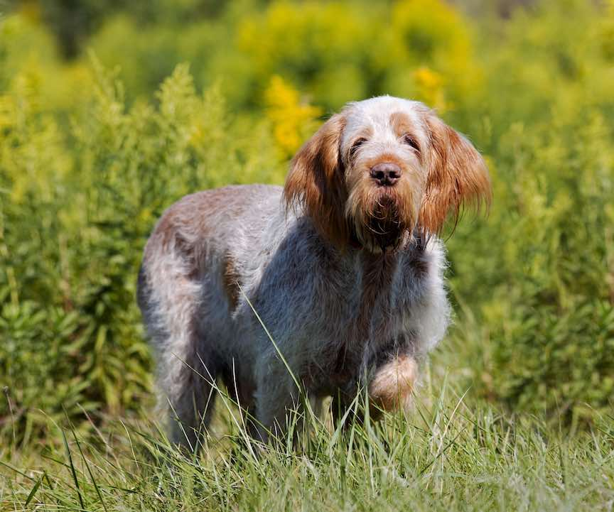 A Spinone hunting dog hunts in a field