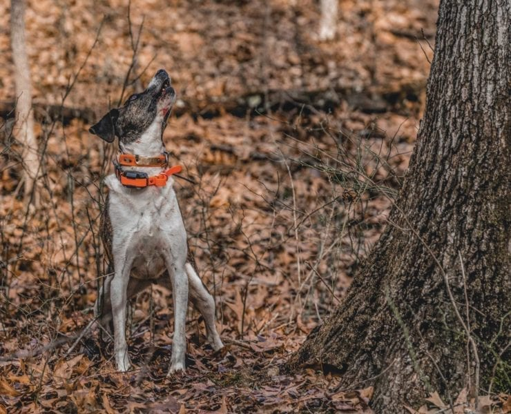 A dog barks at a squirrel in a tree while hunting