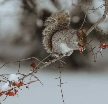A gray squirrel in a tree during hunting season