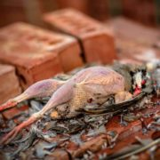 A partially plucked chukar partridge rests on a stack of bricks